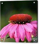 Profiling Echinacea Acrylic Print