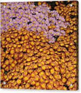 Profusion In Yellows Pinks And Oranges Acrylic Print