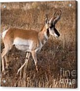 Pronghorn Antelope 2 Acrylic Print