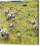 Pronghorn Antelope In Lamar Valley Acrylic Print