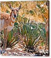 Pronghorn Antelope Acrylic Print