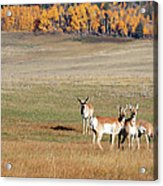 Pronghorn In The Park Acrylic Print