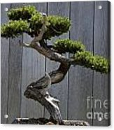 Prostrate Juniper Bonsai Tree Acrylic Print