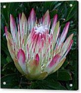 Protea Flower Acrylic Print