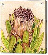 Protea In Autumn Acrylic Print