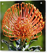 Protea - One Of The Oldest Flowers On Earth Acrylic Print by Christine Till