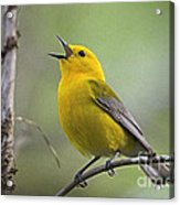 Prothonotary Wabler Acrylic Print