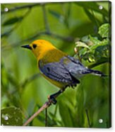 Prothonotary Warble Dsb071 Acrylic Print
