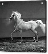 Proud Arabian Horse - Stallion In Acrylic Print
