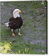 Proud Bald Eagle  Acrylic Print