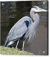 Proud Great Blue Heron Acrylic Print