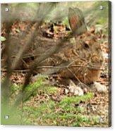 Proud Hare Acrylic Print