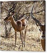 Proud Impala Acrylic Print
