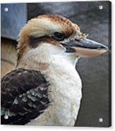 Proud Kookaburra Acrylic Print