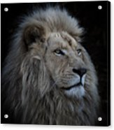 Proud Lion Acrylic Print
