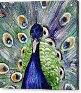 Proud Peacock Acrylic Print