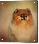 Proud Pomeranian Acrylic Print