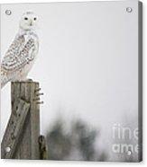 Proud Snowy Owl Acrylic Print