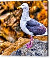 Proud Thayer Gull Acrylic Print