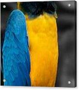 Proud Yellow Acrylic Print