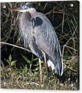Pround Blue Heron Acrylic Print