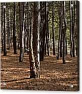 Provin Trails Park Forest Acrylic Print by Richard Gregurich