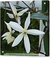 Psalm Eighteen Two White Clematis Acrylic Print