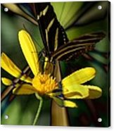 Psychadelic Zebra Butterfly Acrylic Print