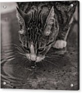 Puddle Drinking Kitty Acrylic Print