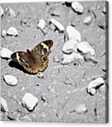 Puddling Butterfly 8766 Acrylic Print