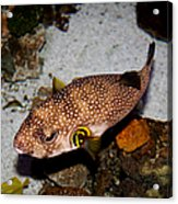 Pufferfish 5d24157 Acrylic Print by Wingsdomain Art and Photography