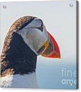 Puffin In Close Up Acrylic Print
