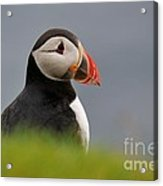 Puffin In Iceland Acrylic Print