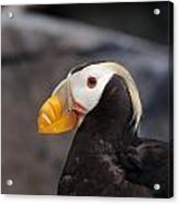 Puffin Tufted 1 Acrylic Print