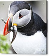 Puffin With Fish Acrylic Print