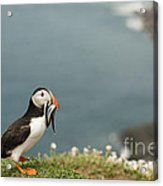 Puffin With Sandeels Acrylic Print