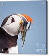 Puffin With Sandeels Portrait Acrylic Print