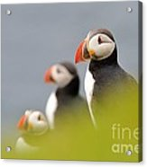 Puffins In Iceland Acrylic Print