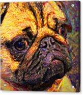 Pug 20130126v1 Acrylic Print by Wingsdomain Art and Photography