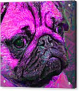 Pug 20130126v3 Acrylic Print by Wingsdomain Art and Photography