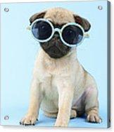 Pug Cool Acrylic Print by Greg Cuddiford