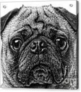 Pug Dog Black And White Acrylic Print