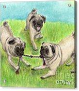 Pug Dog Playing Canine Animal Pets Art Acrylic Print