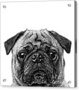 Pug Dog Square Format Acrylic Print