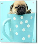 Pug In A Cup Acrylic Print