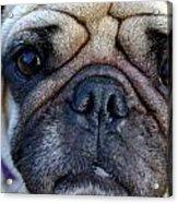 Pug Mug Acrylic Print