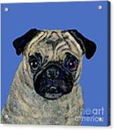 Pug On Blue Acrylic Print