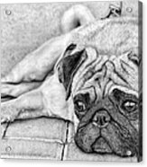 Pug Pencil Drawing Acrylic Print