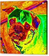 Pug Portrait Pop Art Acrylic Print
