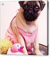 Pug Puppy Bath Time Acrylic Print